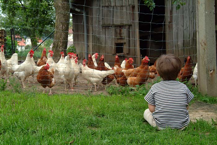 morinville to consider backyard chickens the morinville news